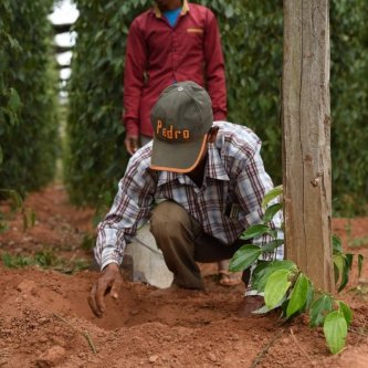 How do our farmers plant Kampot pepper?